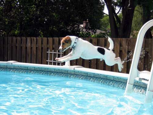 Dog Diving Into a Pool Dog Jumping Into Pool Sparky