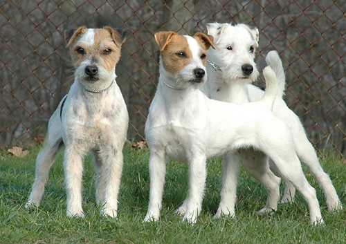Jack Russell Terrier Training - 4 Essential Training Habits