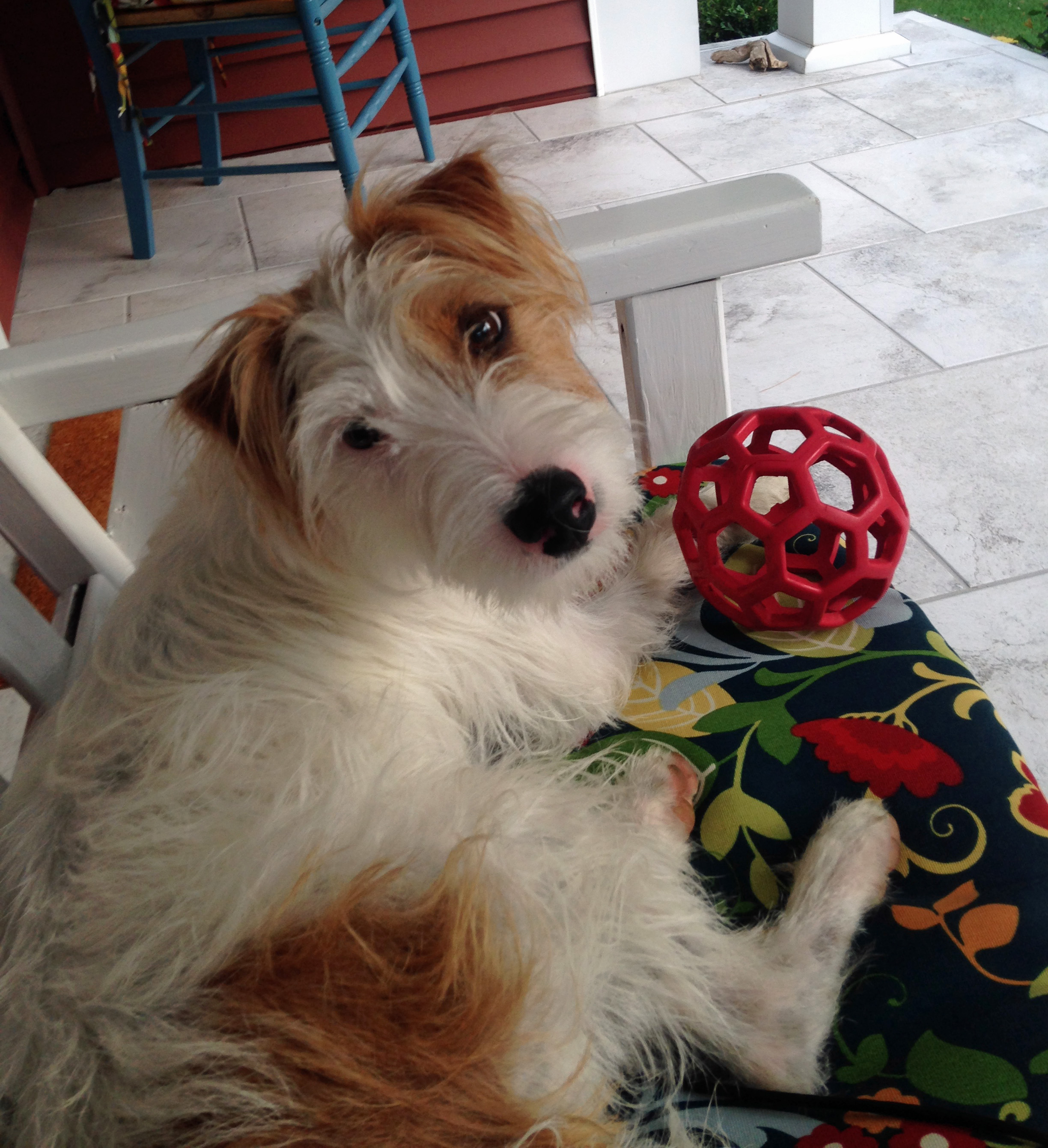 Jack Russell Terriers Jack Russell Terrier Testimonials